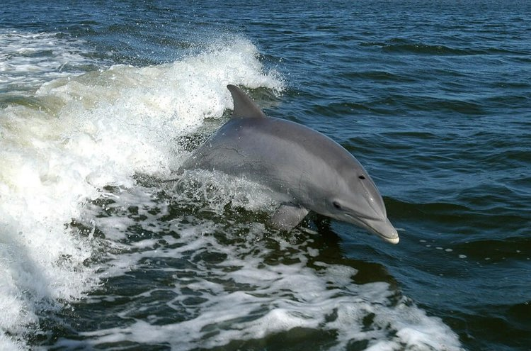 Dolphin-Watching-Tenerife