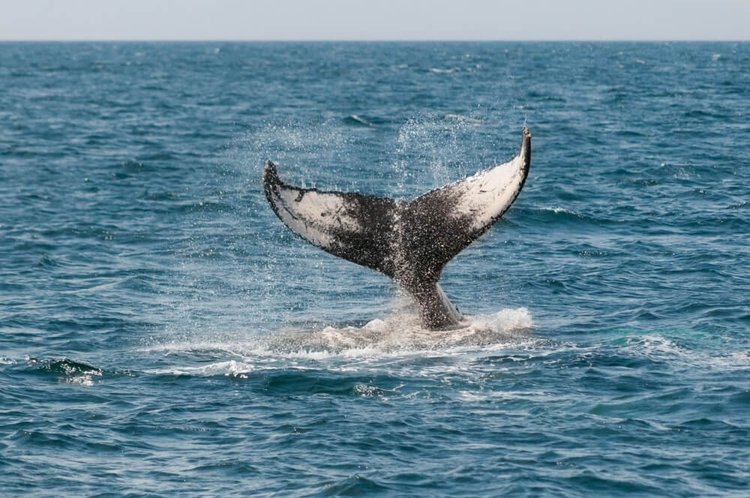 yacht-charter-newport-beach-sailo-whale-watching